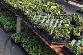 When retail greenhouse space gets scarce, plants literally get stacked up. Photo: L. Stivers, Penn State