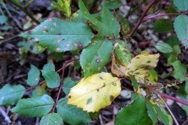 Upper surface of affected shrub rose showing round leaf spots with an orange center on yellowing leaves. Image: R. Benner, Penn State