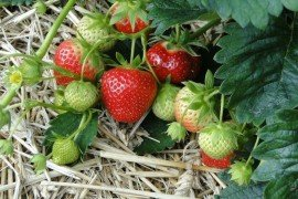 Home Fruit Gardens: Table 8.1. Strawberry Variety Descriptions