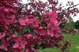 Plant Disease resistant varieties like this PrairiFire Crabapple, which is also resistant to scab, rust and mildew. Photo by K Salisbury, Taken at the Almshouse Arboretum of Bucks County Extension Doylestown PA