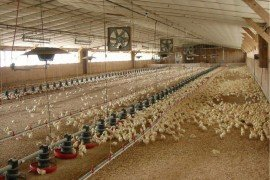 Commerical Poultry Industry