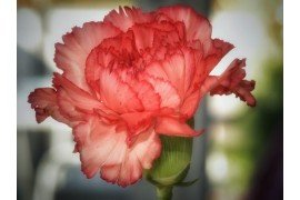 Carnation (Dianthus) Diseases