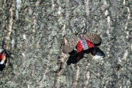 Spotted Lanternfly: What to Look For