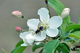 Andrena on apple blossom. Photo: David Biddinger