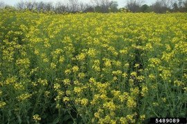 Use of Brassica Crops to Extend the Grazing Season