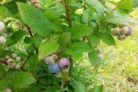 Blueberries in the Home Fruit Planting