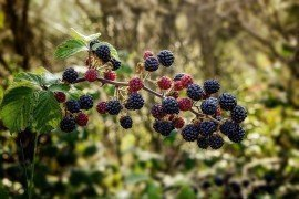 Brambles in the Home Fruit Planting