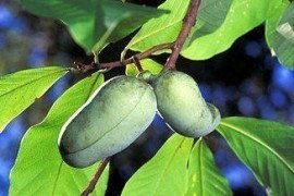 The Native Pawpaw Tree