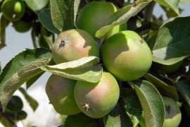 Thinning Fruit Crops in Home Fruit Plantings