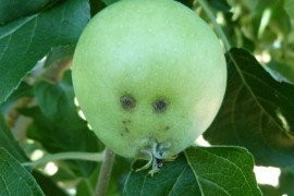 Apple Scab in the Home Fruit Garden