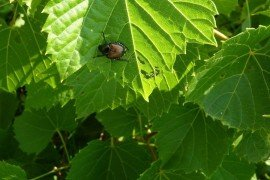 Japanese Beetles in Home Fruit Plantings of Peaches