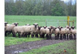 Sheep come in many different sizes and should be selected to match the resources on your farm.