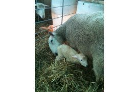 Paying close attention to details will help to improve newborn lamb survival.