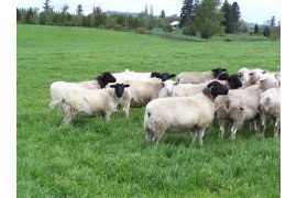 Good nutrition is very important to help sheep better handle internal parasites.