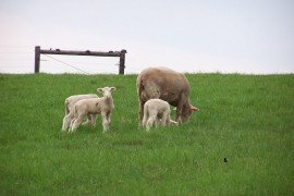 Proper handling of vaccines will help to insure that ewes remain healthy and produce healthy and vigorous lambs.