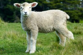 Sheep Safety and Quality Assurance Program (SSQA)