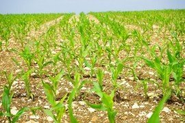 Burndown Herbicide Options For Corn
