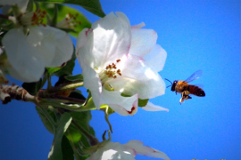 Growers dependent on honey bees must constantly maintain a delicate balance between protecting their crops from pests and pathogens and protecting pollinators.