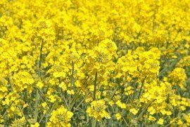 Processing Regulations for Oilseed