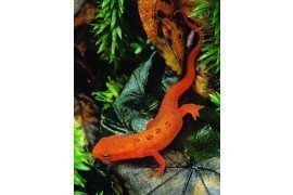 The juvenile form of the aquatic red-spotted newt is called the red eft and lives on land. It is common in Pennsylvania.