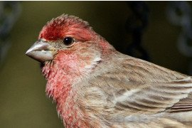 House Finch Conjunctivitis