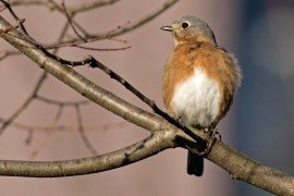 Managing Habitat for Eastern Bluebirds