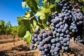 Wine Grape Production