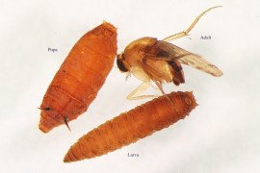 Megascilia sclaris adult larva pupa