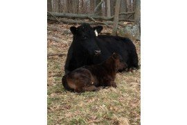 Docile cattle are often more profitable cattle