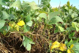 Late Season Soybean Diseases