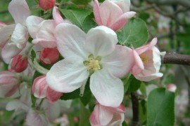 An effective chemical thinning program is essential to obtaining adequate return bloom. It is also important to use return bloom sprays on apple cultivars that tend to be biennial.