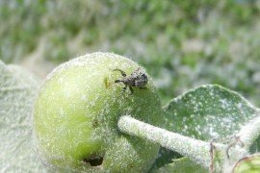 Tree Fruit Insect Pest - Plum Curculio