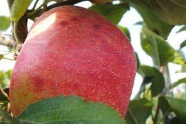 Fruit Disorders - Practices to Manage Storage Disorders in Honeycrisp