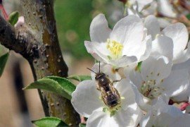Osmia cornifrons on an apple blossom. Photo: David Biddinger
