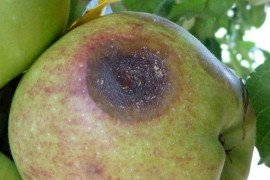 Bitter rot occurs only on fruit and can penetrate unbroken fruit skin. Photo by K. Peter.