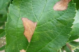 The disorder is characterized by irregularly shaped necrotic blotches on the leaves, limited by the veins. Affected leaves turn yellow in about 4 days and subsequently fall off the tree. Photo by K. Peter.