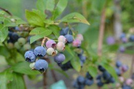 Blueberry Diseases - Viruses