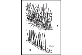 June-bearing red raspberries will grow naturally in a hedgerow system, as Figure 7.1 illustrates.