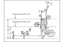 Vine Management during the first growing season
