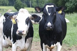 Penn State Dairy Cows