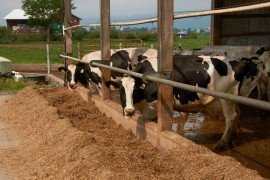 Carbohydrate Nutrition for Lactating Dairy Cattle