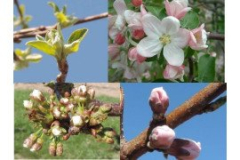 Examples of stages of fruit bud development: top left - apple tight cluster; top right - apple first bloom; lower left - sweet cherry first white; lower right - peach pink.