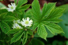 Goldenseal photo - credits: Eric Burkhart