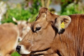 Carbon, Methane Emissions and the Dairy Cow