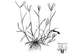 Crabgrass (Digitaria spp.)
