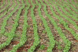 Double Cropping Soybeans or Planting Soybeans Late?