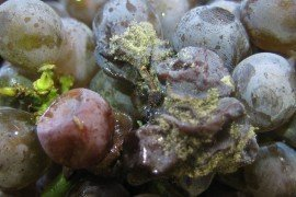 Botrytis Infection on Pinot Grigio Grapes. Photo by: Denise M. Gardner