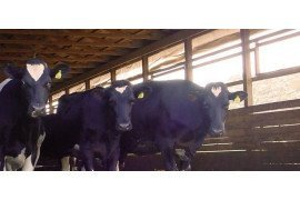 Heifer Nutrition Modifications to Reduce Manure Production