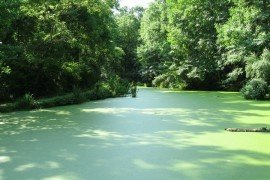 Pond coated with duckweed. Photo: Diane Oleson, Penn State Extension