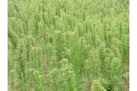Horseweed/Marestail Management in No-till Soybeans